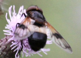 Volucella pellucens hoverfly