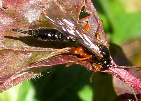 Ichneumon and sawflies
