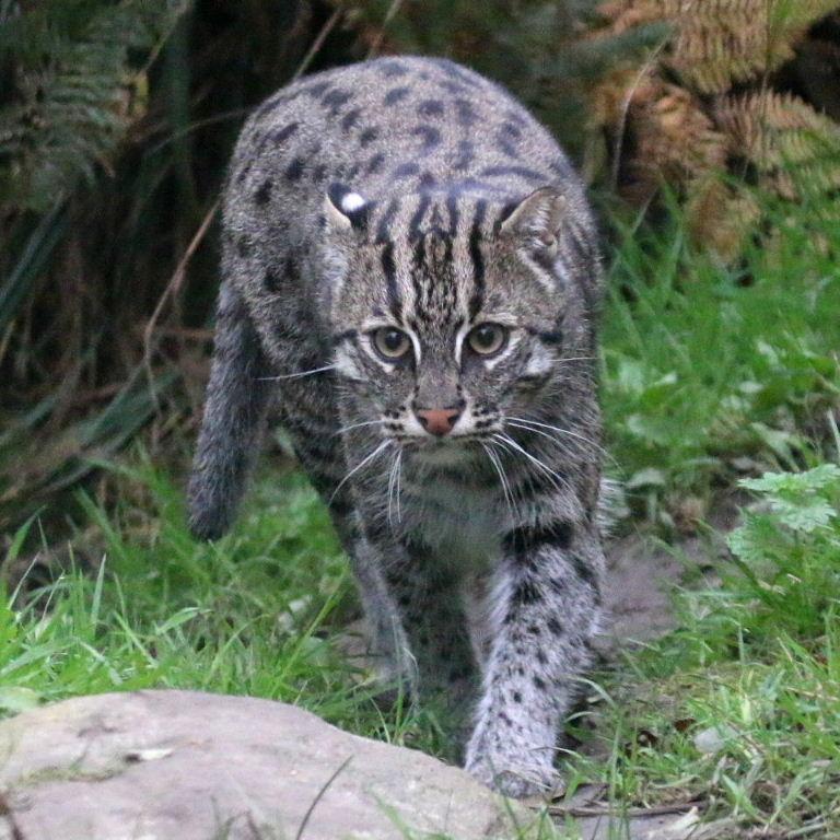 Fishing cat for Fish cat 4