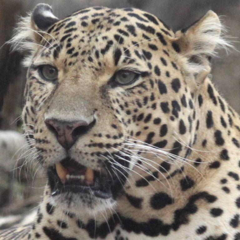 Jaguar Roaring: Leopard