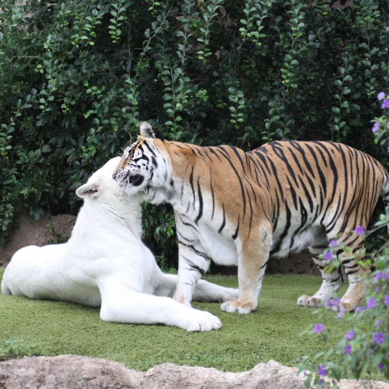 White and Orange Bengal Tigers