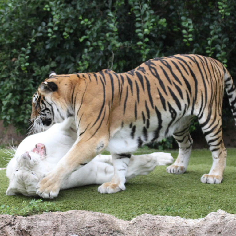 orange and white tiger cubs white and orange bengal tigers