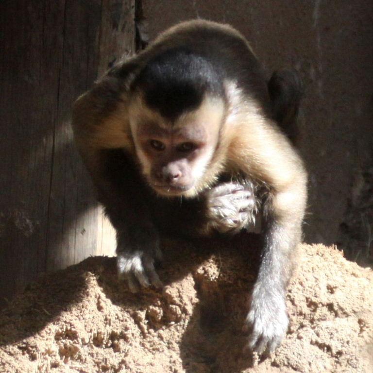 Black Capped Capuchin