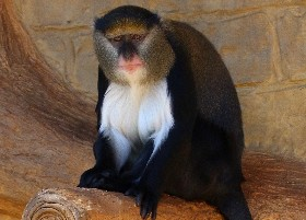 Campbell's Monkey
