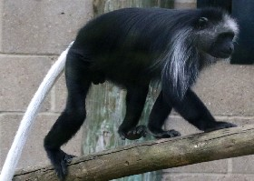 King BW Colobus