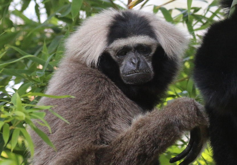 Pileated Gibbon female