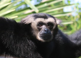 Pileated Gibbon male