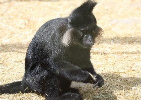 Black-crested Mangabey