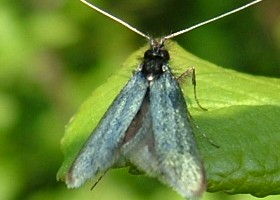 Fairy Moth Green Longhorn