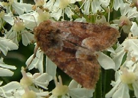 Middle-barred Minor Moth