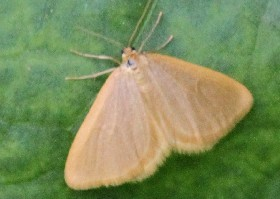 Drab Looper moth