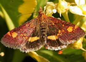 Mint Moth aurata