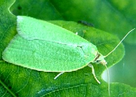 Green Oak Roller Tortrix