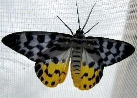 dysphania subrepleta day-flying moth