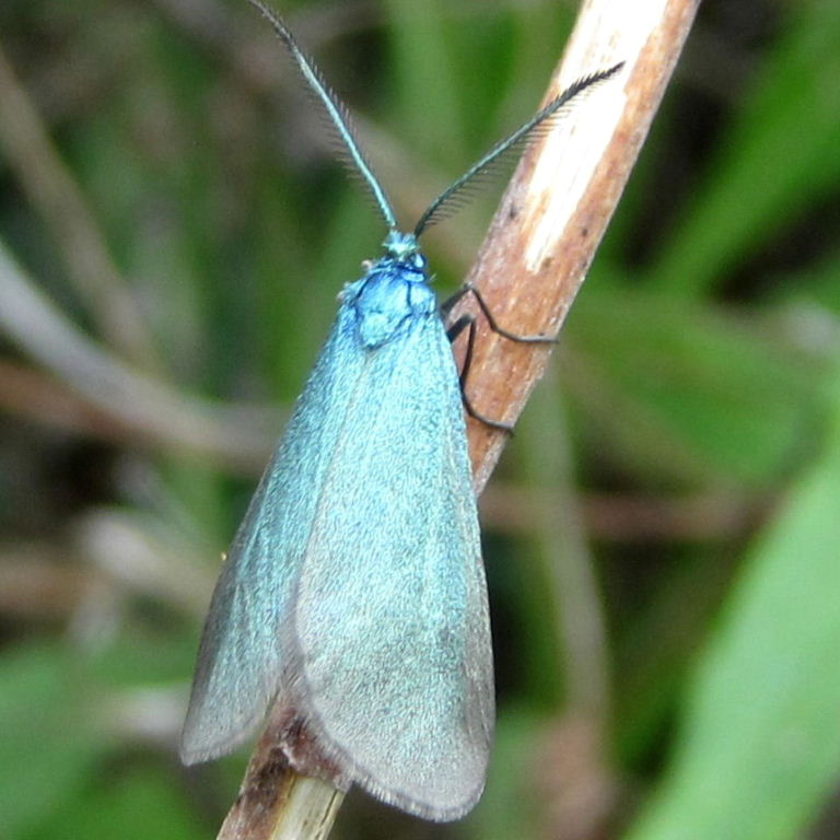 The Forester Moth Adscita statices