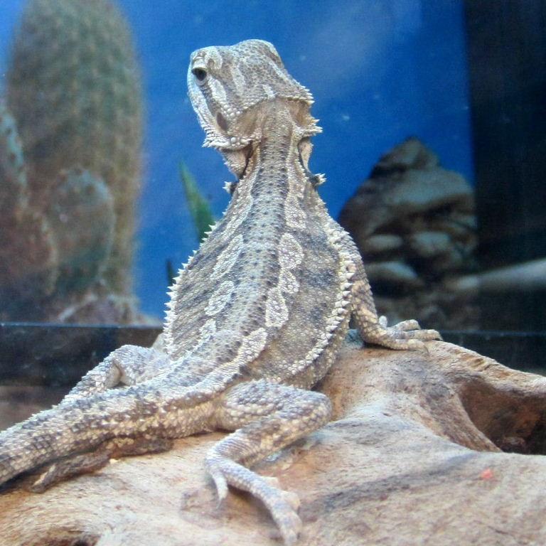Animal Care/Bearded Dragon