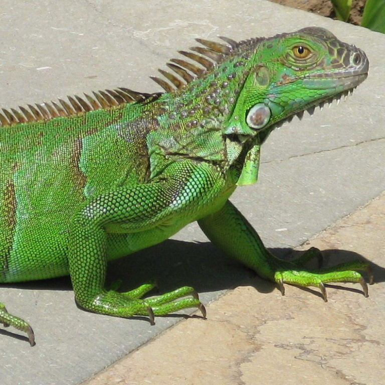 How To Prepare Food For Your Baby Green Iguana