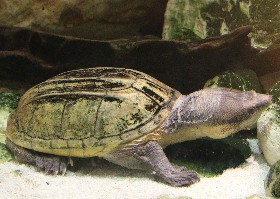 Pacific Giant Musk Turtle