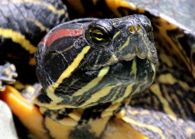 Red-eared Slider Terrapin