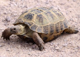 Russian/Central Asian Tortoise
