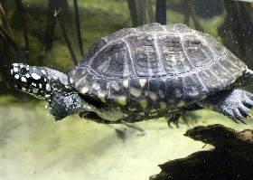 Black-spotted Turtle