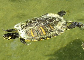 Yellow-bellied Slider Terrapin