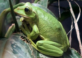 Fea's Flying Tree Frog