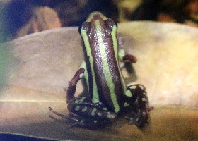Anthony's Poison Frog