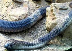 Egyptian Snouted Cobra