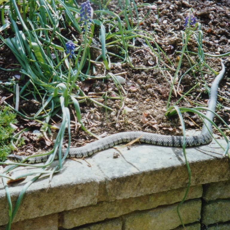 Grass snake for Ornamental fish garden ponds