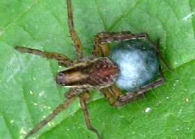 Pardosa amentata with egg sac