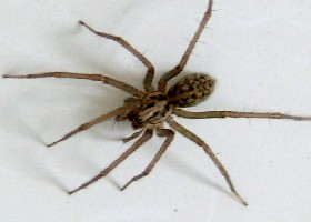 House spider female