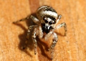 Zebra spider eyes